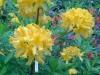 "Rododendrs ""Selga"""